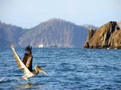 pelican at the ocean on tortuga island by size4riggerboots